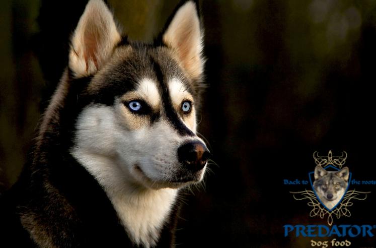 PREDATOR - idealiai subalansuotas sausas šunų maistas.