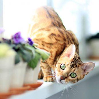 Bengalijos katė - mažasis leopardas