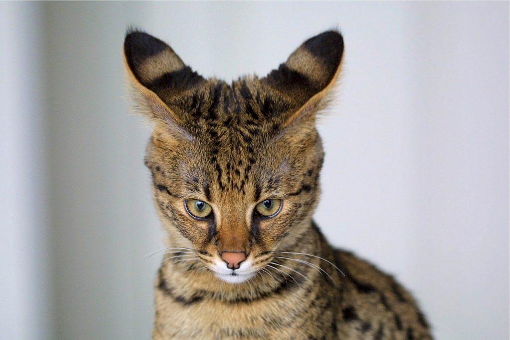 7 išskirtinės kačių veislės, kurias pamilsite iškart!