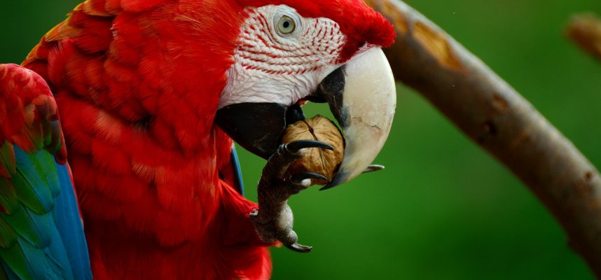 Naminiai paukščiai - kanarėlės ir papūgos. Ką reikia žinoti prieš juos įsigyjant.