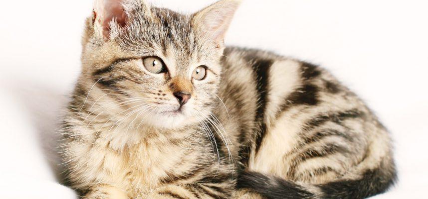 Kas sudaro veislinio kačiuko kainą?