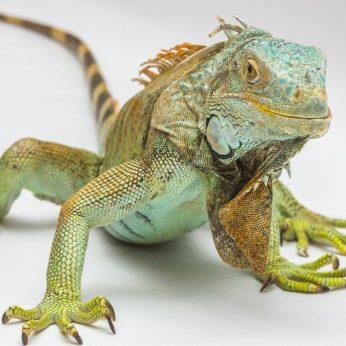 Iguanos: 5 veiksniai, dėl ko iguanos gali jaustis blogai ir net nugaišti