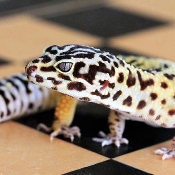 Egzotiniai gyvūnai namuose: Leopardinis gekonas. Ar jis ne gražuolis?