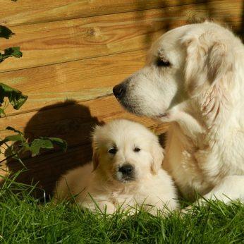 Netikras nėštumas. Ką privaloma žinoti auginantiems kates ir šunis!
