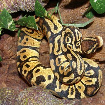KARALIŠKASIS PITONAS - akių džiaugsmas egzotinių gyvūnų mėgėjamsKARALIŠKASIS PITONAS - akių džiaugsmas egzotinių gyvūnų mėgėjams