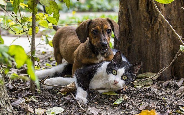 9 šunų veislės, kurios geriausiai sutaria su katėmis