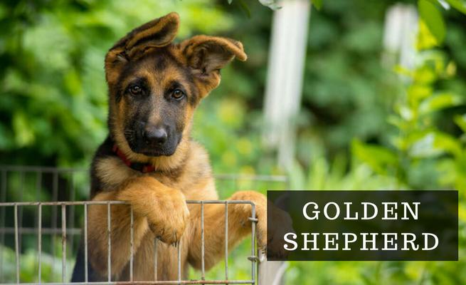 Auksinis aviganis? Įdomu ir savotiškai gražu - GoldenShepherd