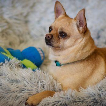Vidutinių ir mažų šunų veislės. Kokį šunį lengviausia auginti bute