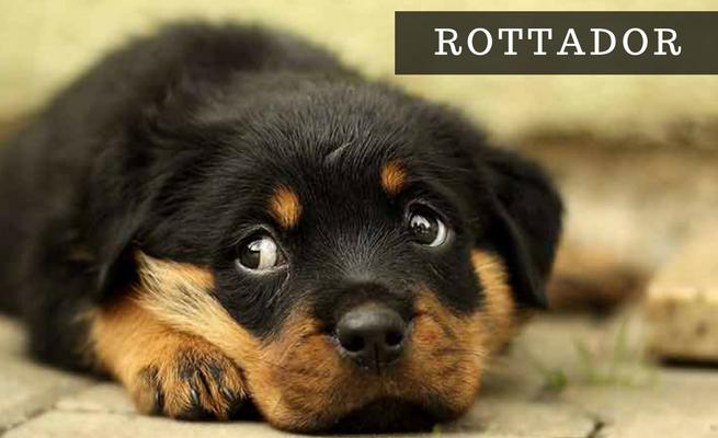 Labradoras + Rotveileris = ROTTADOR