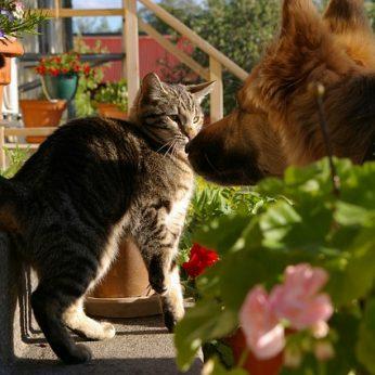 8 kačių veislės, kurios geriausiai sutaria su šunimis