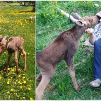 """Tai tikriausiai pati smagiausia istorija apie du visiškai skirtingus gyvūnus, tapusius geriausiais draugais. JAV valstijoje, Maine su šeimininkais gyvenantis šuo tapo mamos palikto briedžio jauniklio draugu. Vieną savaitgalio popietęvokiečių aviganio Leo šeimininkė Shannon Lugdon išgirdo savo mamos besišaukiantį briedžio jauniklį. Priėjusi arčiau gyvūno, moteris suprato, kad jam gresia didelis pavojus, mat briedis gali netyčia užklysti ant važiuojamosios kelio dalies ir būti partrenktas automobilio. Nieko nelaukdama ji visais įmanomais būdais bandė privilioti jauniklį į saugią vietą. Įsitikinusi, kad mažam briedžiukui nebegresia joks pavojus, Shannon susisiekė su dviem laukinės gamtos specialistais Adrianu ir Nicku ir paprašė jų pagalbos. Pastarieji išsiaiškino, kad briedžio jauniklis iš tiesų yra jauniklė, pasaulį išvydusi prieš šešias dienas. Moteris nusprendė laukinį gyvūną pavadinti Maggie. """"Visą dieną ji praleido vaikštinėdama šalia netoliese esančio upelio ir vis grįždavo į vietą, kurioje, mūsų manymu, ją paliko jos mama"""", – socialiniame tinkle rašė moteris. Laukinės gamtos specialistai patarė moteriai prie Maggie nesiartinti bent 24 valandas. """"Vieni palikti briedžių jaunikliai retai kada iš tiesų būna palikti ilgam laikui. Dažnai mamos juos apleidžia kelioms valandoms, kad pačios galėtų pavalgyti, atsigerti vandens ar šiek tiek pailsėti"""", – tęsė moteris."""