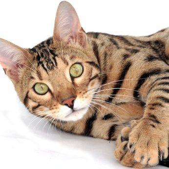 Egzotiškos katės dėmėtu kailiu