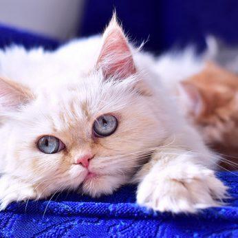"""Himalajų katinai: mėlynakiai gražuoliai, užkietėję """"banditai"""""""