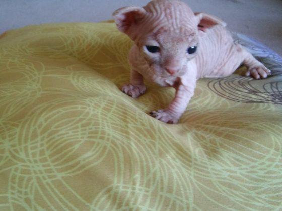 Kanados Sfinksų kačiukai - veislynas Fortuna Sidera
