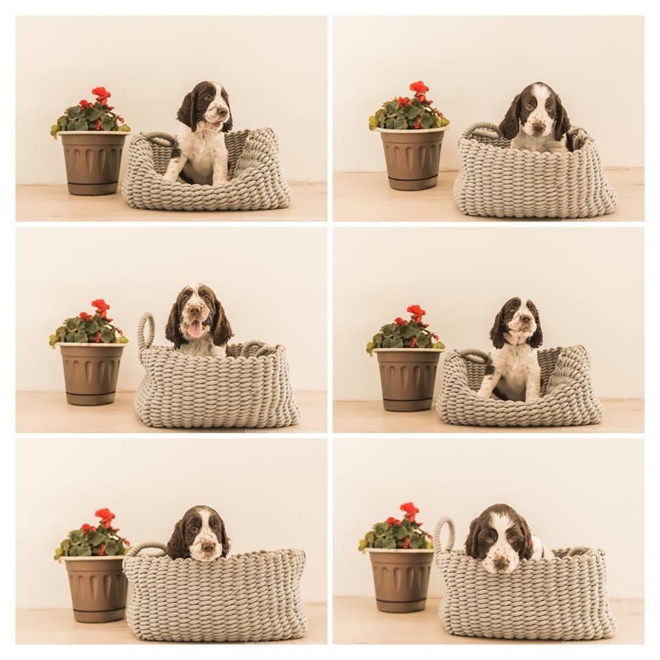 Kilmingi anglų springerspanielių šuniukai ieško rūpestingų ir mylinčių šeimininkų.