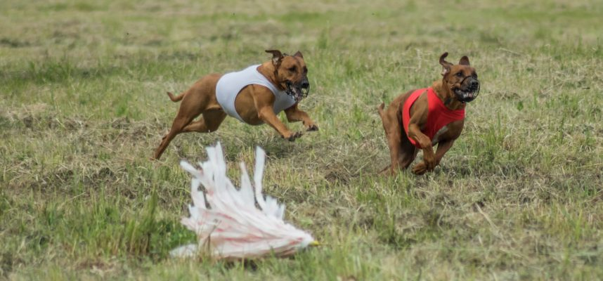 """Šuns troškimas bėgti, ieškoti, gaudyti gerai pažįstamas kiekvienam šeimininkui. O vasara – geriausias metas šį troškimą realizuoti. Šunų sporto specialistai ir kinologai atkreipia dėmesį, kad ne mažiau šuniui reikalingas ir stiprus ryšys su šeimininku. Jis geriausiai ugdomas kartu sportuojant ir treniruojantis. Įvairūs sportiniai užsiėmimai ne tik stiprina šunį fiziškai, bet ir skatina mąstyti, gerina sveikatą, motyvuoja jį ir stiprina ryšį su šeimininku. Tad šunų sporto treneriai dalinasi patarimais, kaip kasdienius pasivaikščiojimus praturtinti sportiniais užsiėmimais ir paversti juos prasmingu ir naudingu laiku ne tik keturkojui, bet ir jo šeimininkui. Prieš treniruotę – dėmesys mitybai Kokybiška ir subalansuota mityba svarbi kiekvienam keturkojui, tačiau ypač – sportuojančiam. Šuns mityba yra individualus dalykas, svarbiausia – maisto kokybė. Aktyviai sportuojančius šunis specialistai pataria daugiausiai šerti subalansuotu žalios mėsos ėdalu. Iš jos šuo gauna didžiąją dalį reikalingų maistinių medžiagų, ji taip pat yra puikus raumenims svarbių baltymų šaltinis. Be to, žalią mėsą šuns organizmas įsisavina geriausiai. Treneriai primena itin svarbią taisyklę: prieš fizinį krūvį šuns šerti negalima. Porą valandų ar net daugiau iki treniruotės užtenka jį pagirdyti. Alkanas šuo geriau koncentruojasi į šeimininką. Nedidelėmis maisto porcijomis galima lepinti treniruotės metu. Obedience – tarpusavio ryšį stiprinančios paklusnumo treniruotės Obedience (liet. paklusnumas) – tai sportinis šuns paklusnumas. Pasak 6 šunis auginančios šunų dresūros klubo """"Belgola"""" kinologės instruktorės Eglės Tamulytės Nenortienės, šuns paklusnumas yra augintinio elgesio ir kitų sporto šakų pagrindas. Kartu tai ir aktyvūs užsiėmimai su šunimi, lavinantys jo protinį mąstymą ir fizinę formą. """"Obedience sportas smagus tuo, kad juo užsiimti gali bet kokių veislių šunys. Šis sportas stiprina šeimininko ir augintinio tarpusavio ryšį, šuo tampa paklusnesnis ir lengviau valdomas"""", - paklusnumo trenir"""
