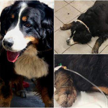 Miške rasto išsekusio šuns istorijoje – posūkis