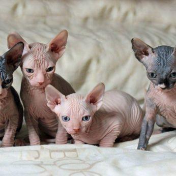 Sfinksai - beplaukės katės, kurių dar daugelis nemėgsta. Ir visai be reikalo. Pažiūrėkite kokios jos nuostabios!