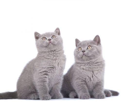 Ieško naujų namų: du mėlyni britų trumpaplaukiai kačiukai berniukai.