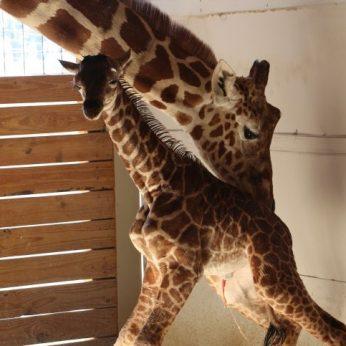 Žirafa April laukiasi penktojo jauniklio: tiesioginė transliacija iš gyvūnų parko