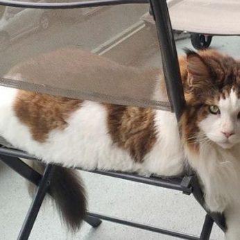 Didžiausias Niujorko katinas sužavėjo internautus: sveria daugiau nei 13 kg