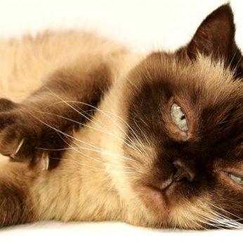 Jūsų katinas turi antsvorio? Veterinarijos gydytoja pasidalijo 4 patarimais, kaip padėti augintiniui