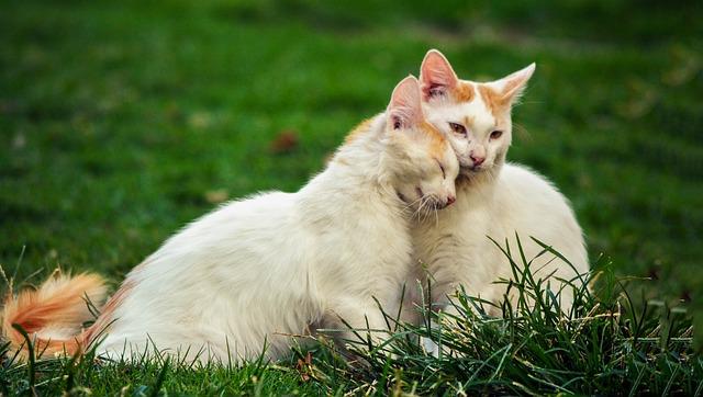 Kada geriausia atlikti sterilizaciją/kastraciją katei/katinui? Veterinaro atsakymas!