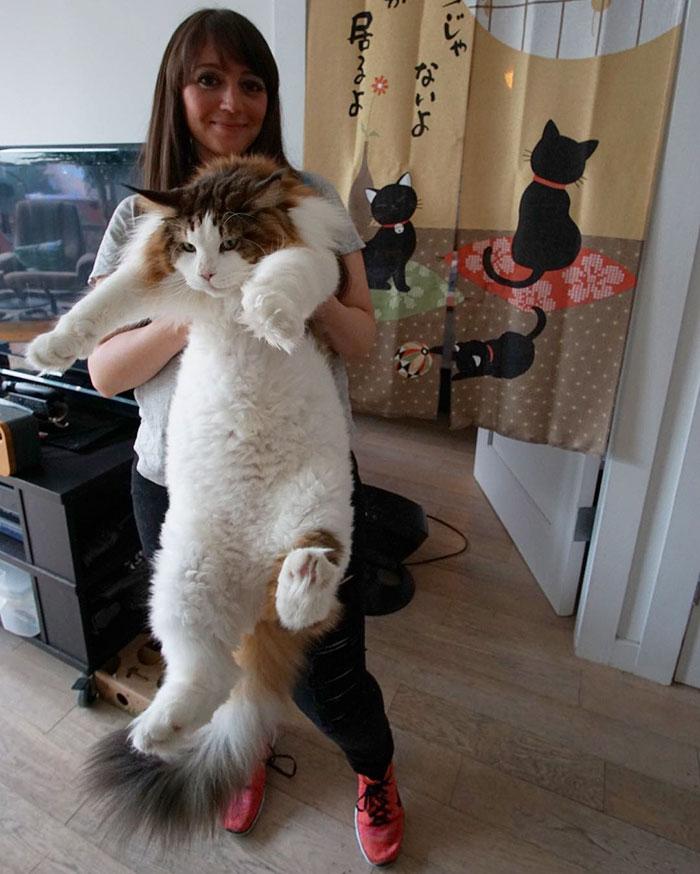 """Samsonas – 13 kilogramų sveriantis gigantiškas murklys. Tai Niujorke gyvenantis Meino meškėnų veislės katinas, jau pramintas didžiausiu miesto katinu.  """"Samsonas yra labai mielas, tačiau tvirtas katinas. Jis tikrai atitinka posakį """"švelnus milžinas"""", – kalbėjo Jonathanas Zurbelis, katino šeimininkas. – Jis nėra storas ir neturi antsvorio. Ryte jis atsigulė man ant pilvo, gerai elgiasi ir yra labai mielas. Tiesiog tikras svajonių katinas."""""""