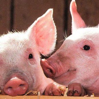 Tikras įvykis: nė viena tarnyba nesiėmė ieškoti pasimetusios kiaulės šeimininkų
