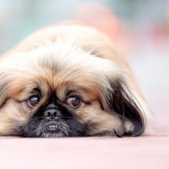 Veislės istorija pekinas – vieno šeimininko šuo