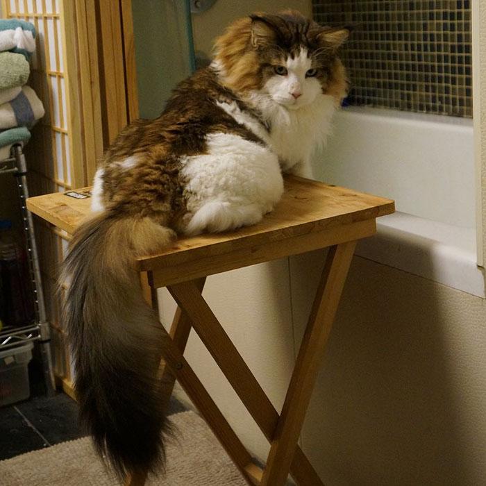 didziausias katinas meino meskenas