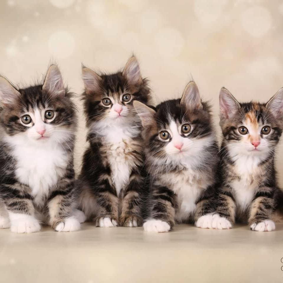 parduodami kurilų bobteilai, kittens for sale