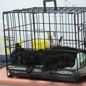 Niekur negirdėti faktai ir mitai apie kačių sterilizaciją