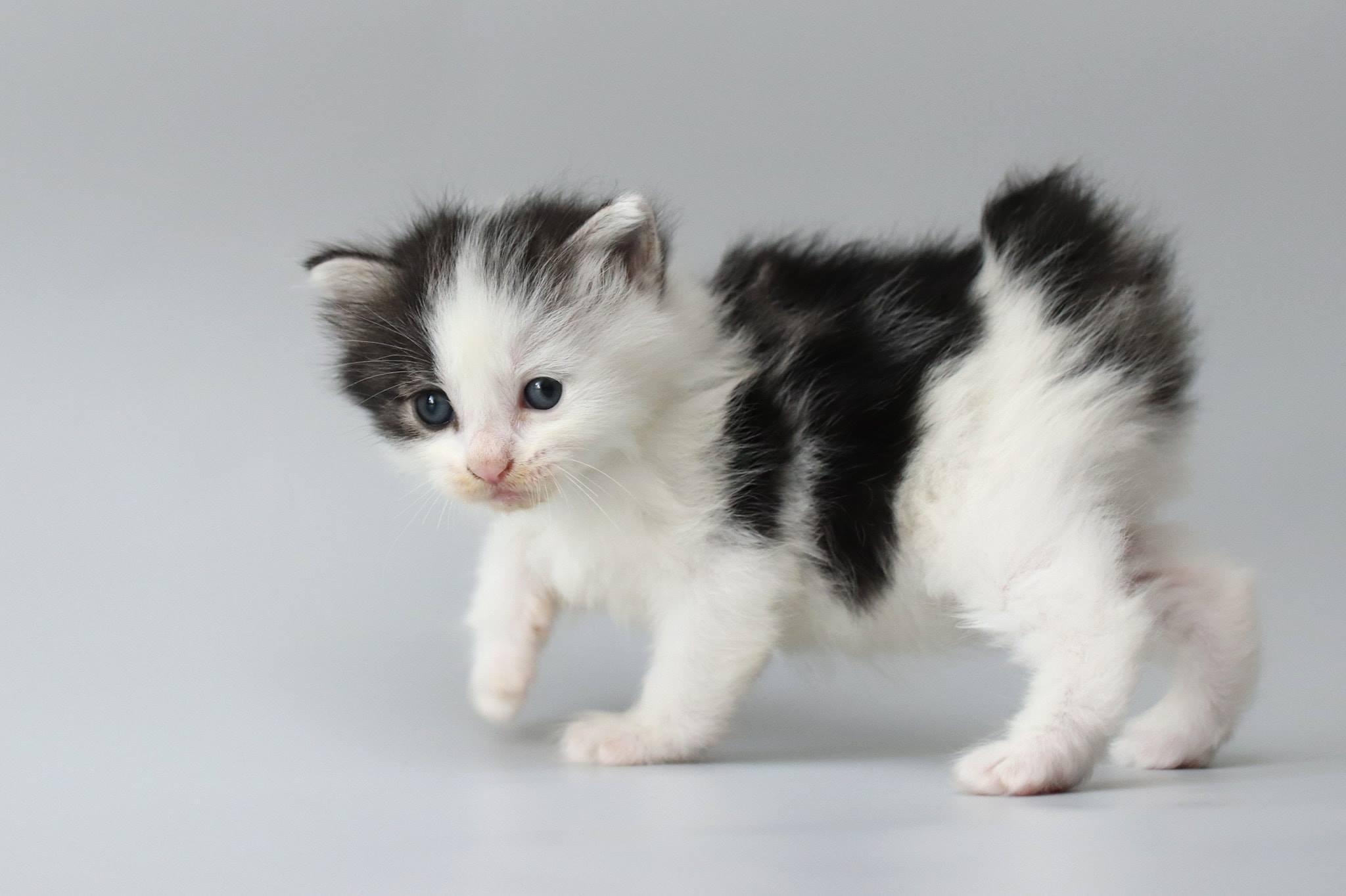 Parduodami kurilų bobteilai – katytė PANDA SIGUR