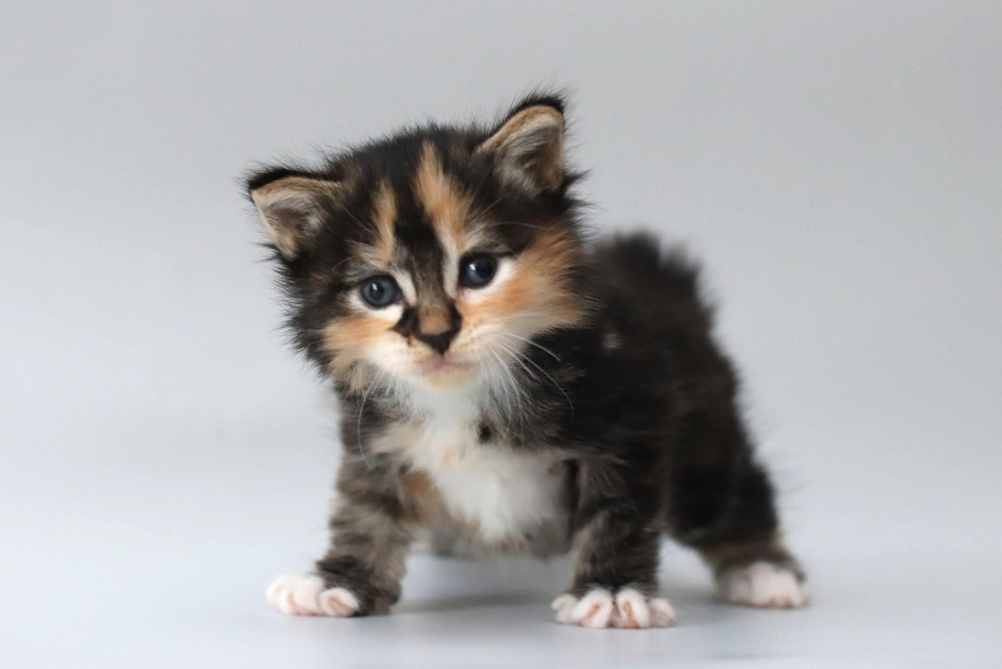 female PUPA SIGUR parduodami kurilų bobteilai katytė