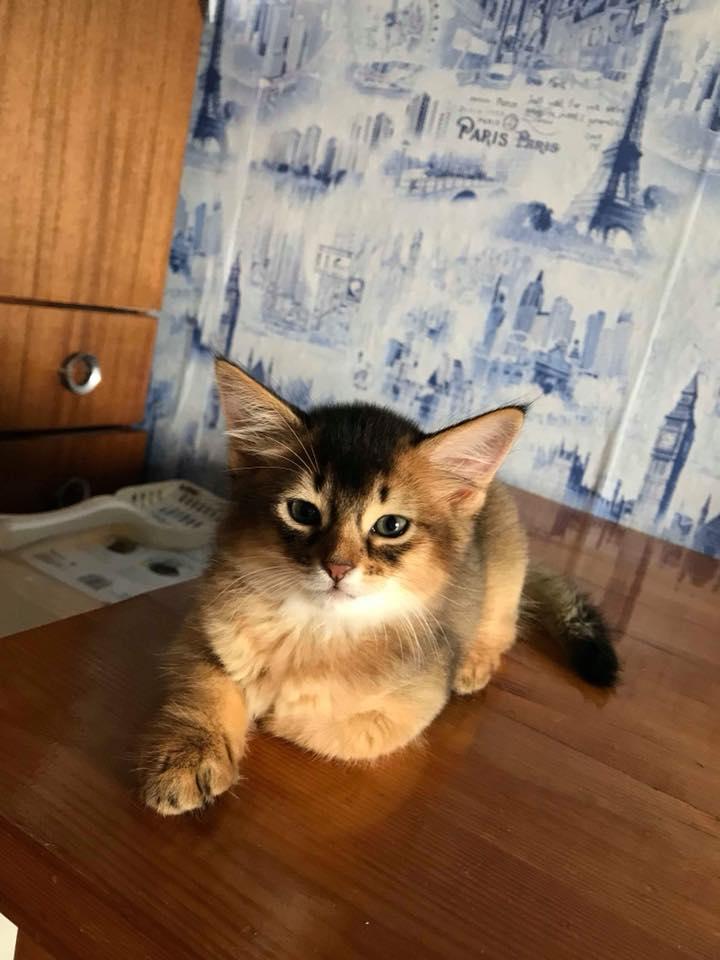 parduodama somalio veislės katytė
