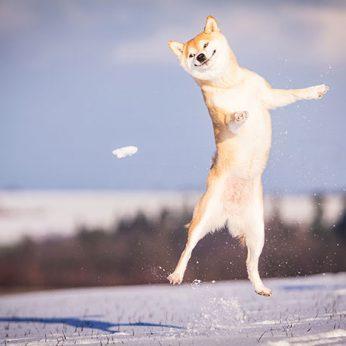 Šiba Inu veislės šunys vieni mieliausių snukučių savininkų.