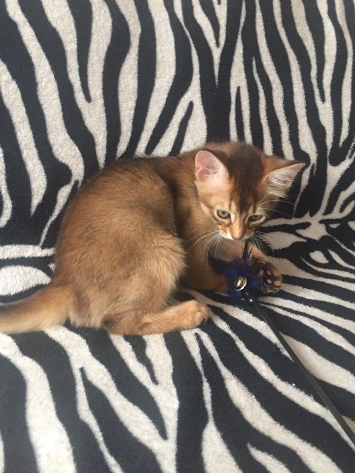 Mažoji Eta - parduodama Somalio veislės katytė
