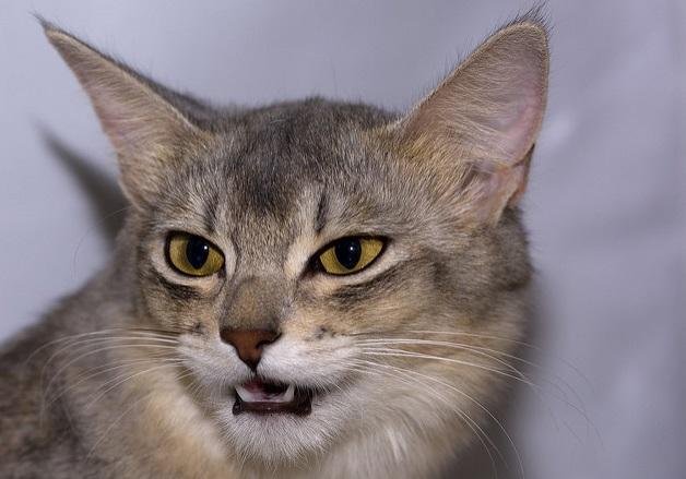 somalio veislės katė, ypatumai, kur įsigyti