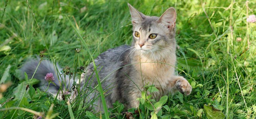 Kačių veislės Somalio katė (Somali cat) – paslaptinga įspūdingo grožio laputė
