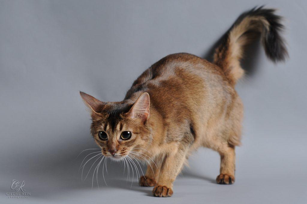somalio katė veislė ypatumai pardavimas veislynas