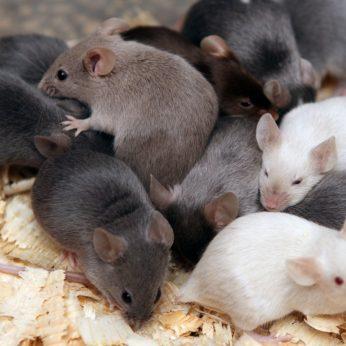 Žiurkėnų priežiūros ypatumai: 3 svarbiausi elementai