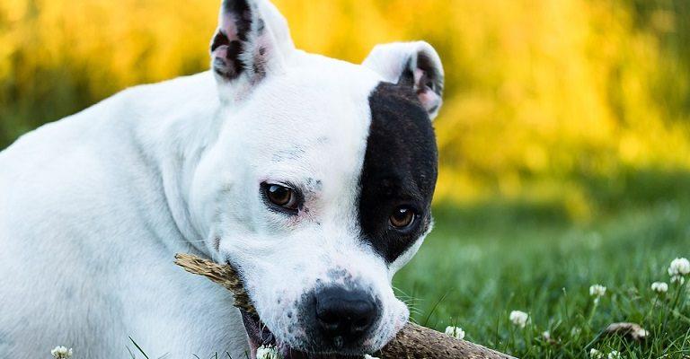 Šunų veislės: Amerikiečių Stafordšyro terjeras (American Staffordshire Terrier) - atkaklus, stiprios valios, ištikimas draugas