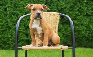 Amerikiečių Stafordšyro terjeras American Staffordshire Terrier atkaklus, stiprios valios, ištikimas draugas