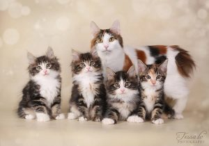 Kačių veislės Kurilų bobteilai (Kurilian bobtail) – tai šuo ir katė viename