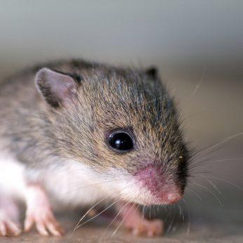Kaip išvengti pelių savo namuose