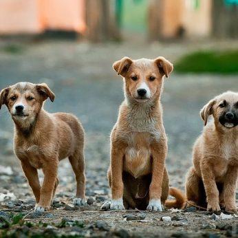 Kokį šuniuką pasirinkti: veislinį ar mišrūną