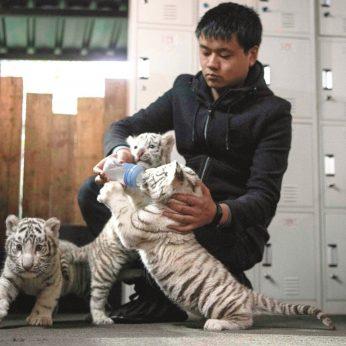 Sunku atsižiūrėti į šiuos baltuosius bengalinius tigriukus