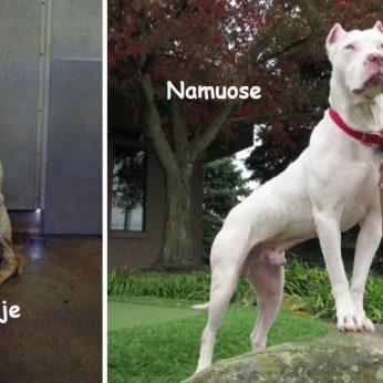 Šunų fotografijos Prieš ir Po to, kai jie buvo paimti iš prieglaudos