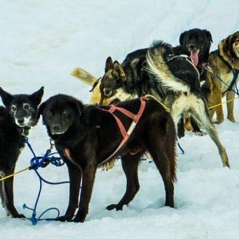 Šunų kinkinius danai pripažino oficialia transporto priemone